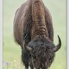American Bison / National Bison Range / Montana