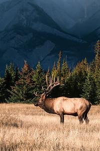 American Elk, Cervus canadensis nelsoni