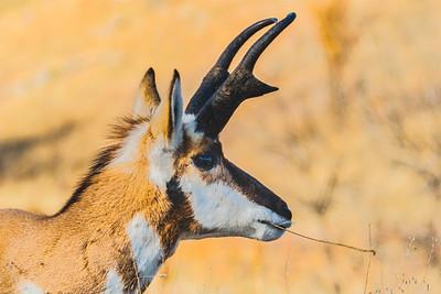 Pronghorn, Antilocapra americana
