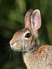 WL-004: Eastern Cottontail