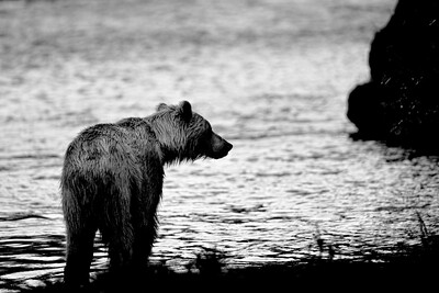 Evening Bear