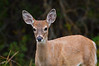 Whitetail Deer, Odocoileus virginianus