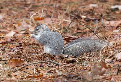 Delmarva Squirrel