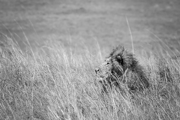 Lion in the Tall Grass