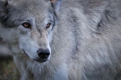 Yellowstone Wolf