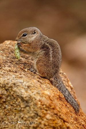 Harris's Antelope Squirrel (Ammospermophilus harrisii)