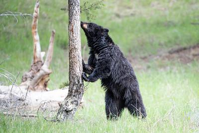 Black bear and a useful tree