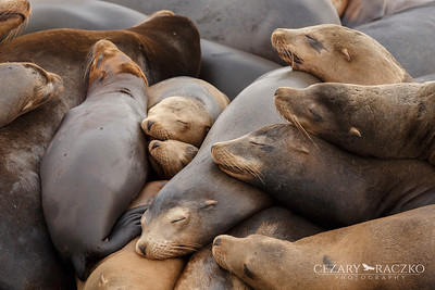 California Sealions (Zalophus californianus)