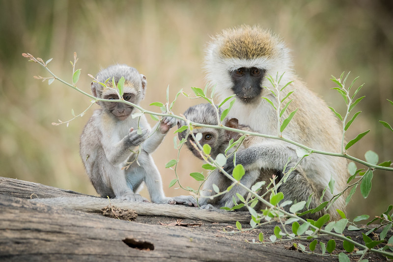 Family of Vervet Monkey