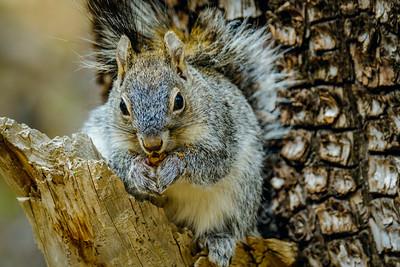 Arizona Gray Squirrel, Sciurus arizonensis