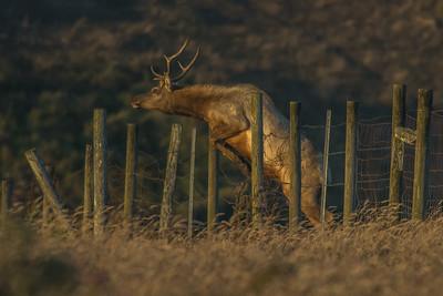 Tule Elk, Point Reyes National Seashore.
