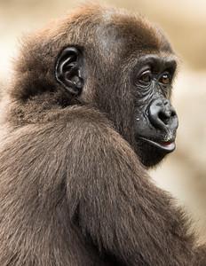 Dennis Stewart - Young Lowland Gorilla