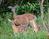 Whitetail Fawns with Mama (WL 053)