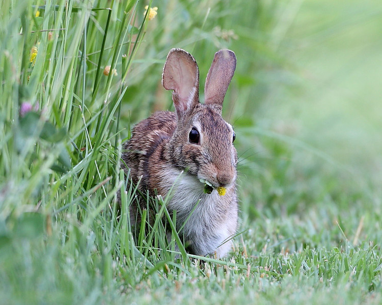 WL-076: Eastern Cottontail