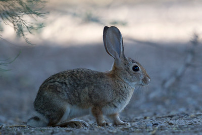 Desert Cottontail 1702