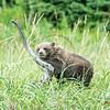 Tired Alaskan bear cub