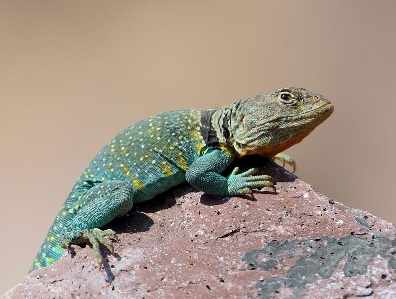 WL-119: Eastern Collared Lizard