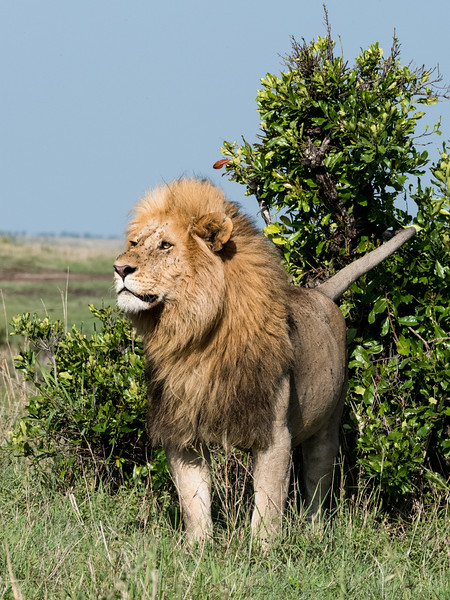 King of the Beast - Male Lion