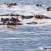 Hippo Gathering