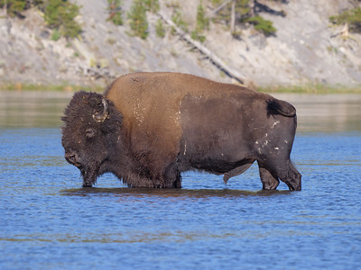 A large male bison cools itself in one of Yellowstone's many rivers.