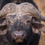 Battle hardened Cape Buffalo