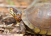 WL-006: Three-toed Box Turtle