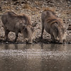 Warthogs at the Watering Hole