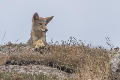 Coyote pup, Point Reyes National Seashore.
