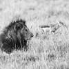 Lion & the Jackal