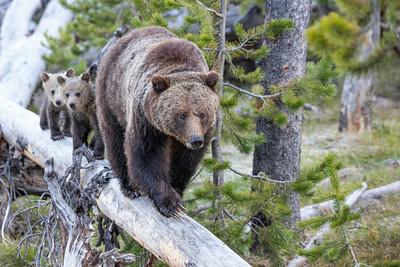 Bear on a log!