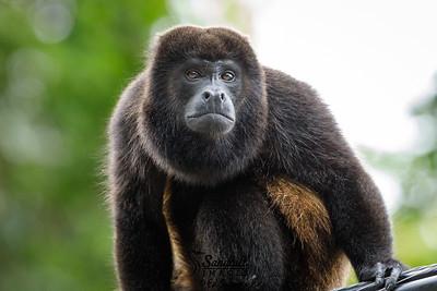 Pensive howler monkey