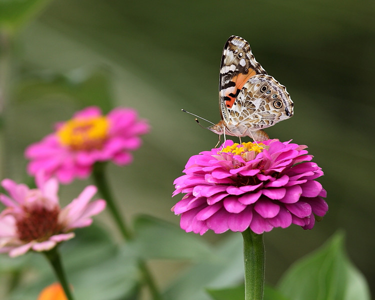 WL-113: American Painted Lady on Zinnia