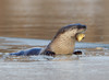 WL-096: River Otter with Sunfish