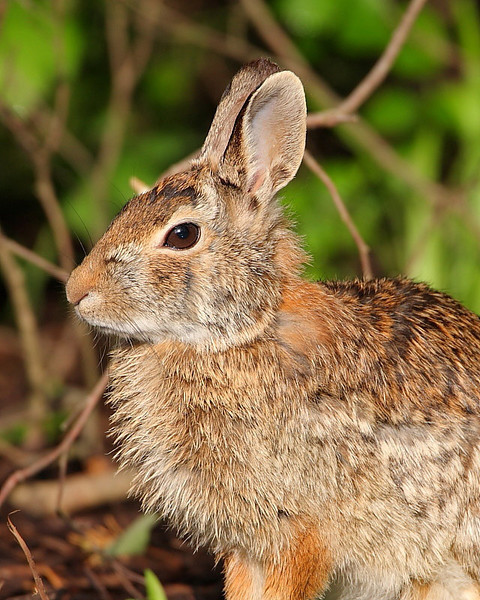 WL-020: Eastern Cottontail