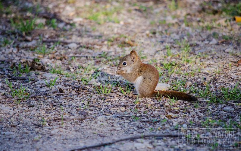 Red Squirrel (Juvenile)