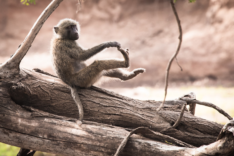 Lazy Baboon Afternoon