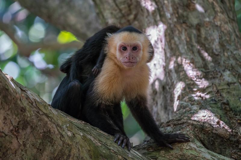 Capuchino stink eye