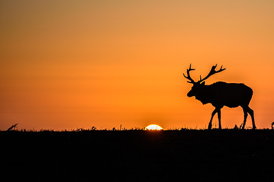 Tule Elk at sunset, Point Reyes National Seashore.