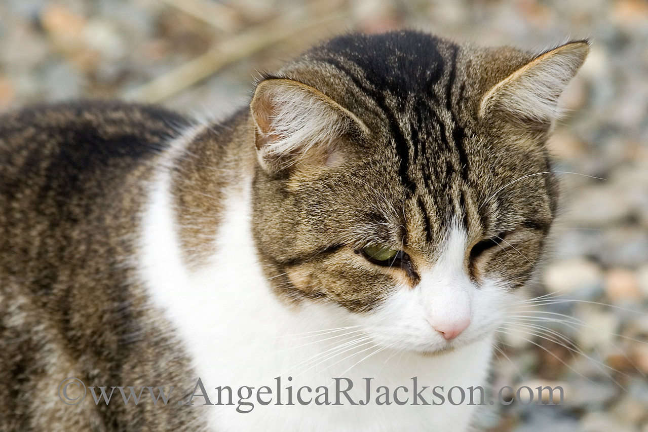 another_tabby_white_face