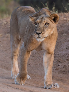 Samburu Lioness