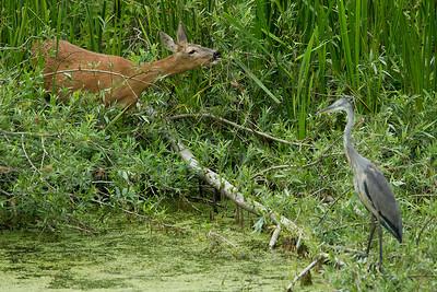 Female roe deer (doe) and Grey heron