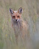 WL-092: Red Fox (Colorado)