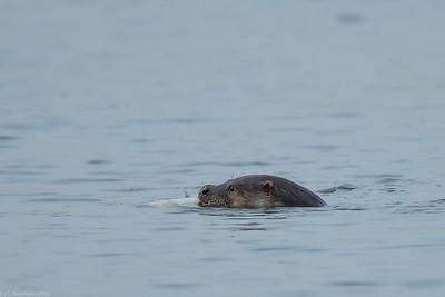 Eurasian otter (Lutra lutra