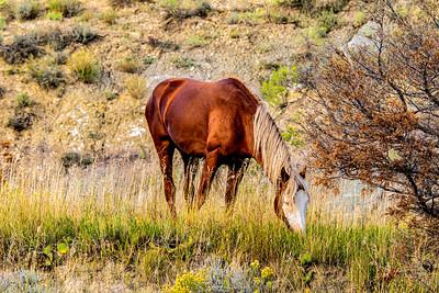 Mustangs, Wild Horses