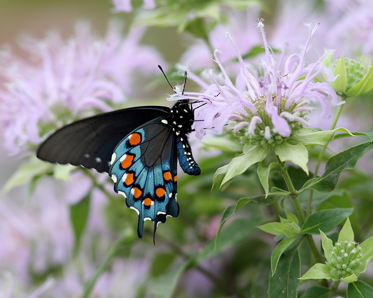 WL-137: Pipevine Swallowtail