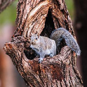 Eastern Gray Squirrel, Sciurus carolinensis