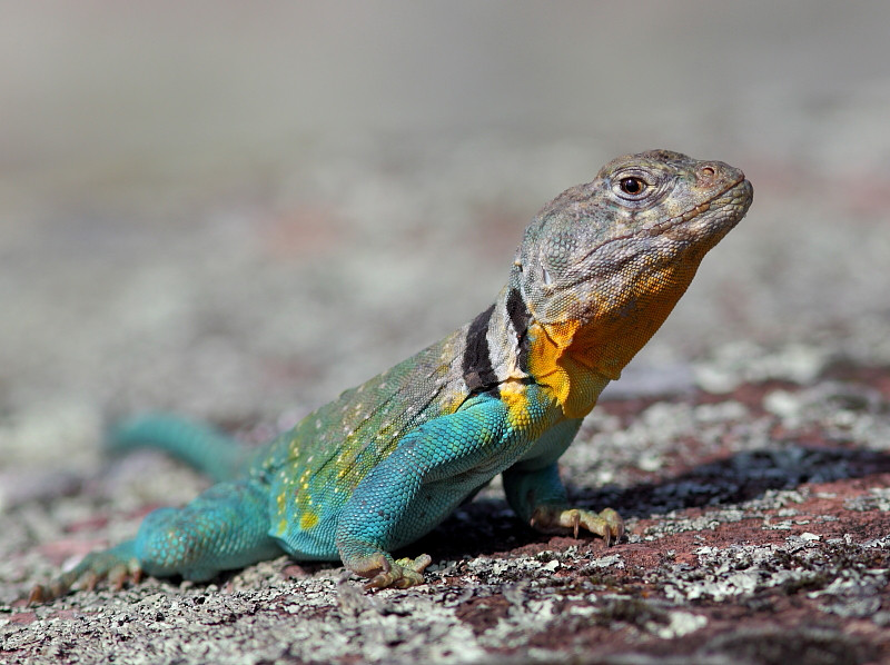WL-100: Eastern Collared Lizard