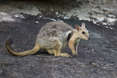 Short-eared Rock Wallaby 7457