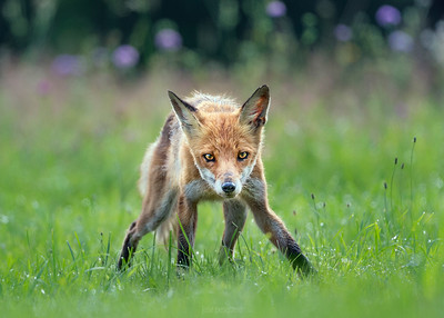 Fox - image taken in North of Poland