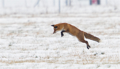 Red fox (vulpes vulpes) hunting voles